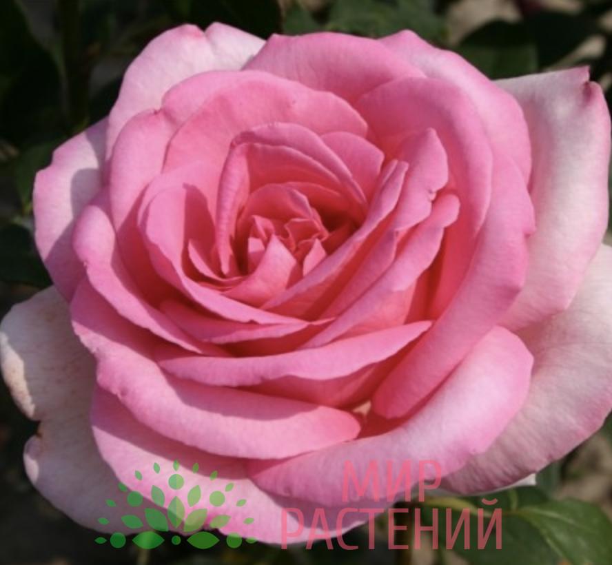 Роза чайно-гибридная Sweet Parole. Свит Пароль. Кордес.1