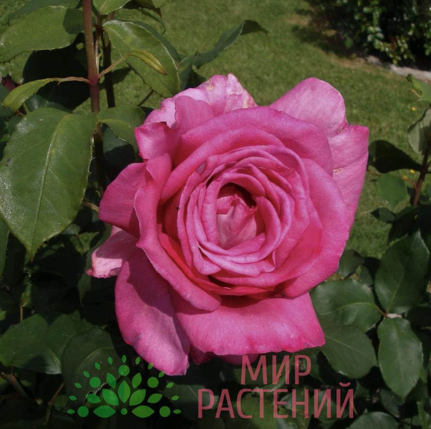 Роза чайно-гибридная Sweet Parole. Свит Пароль. Кордес.2