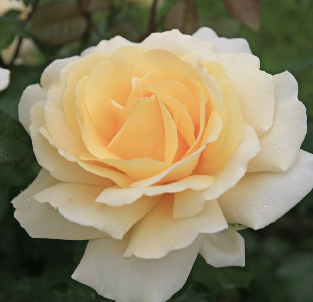 Роза чайно-гибридная Winter Sun. Винтер Сан. Кордес.-1