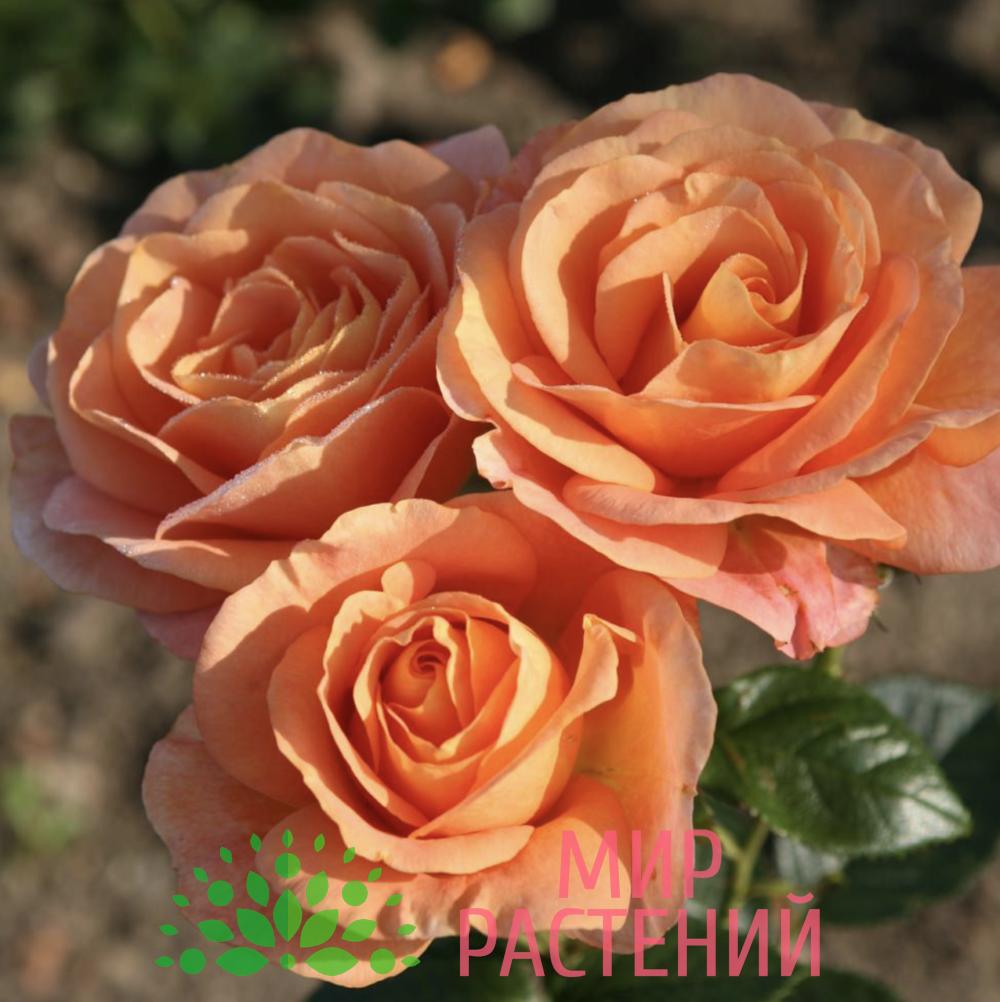 Роза флорибунда Bengali. Бенгали. Кордес.1