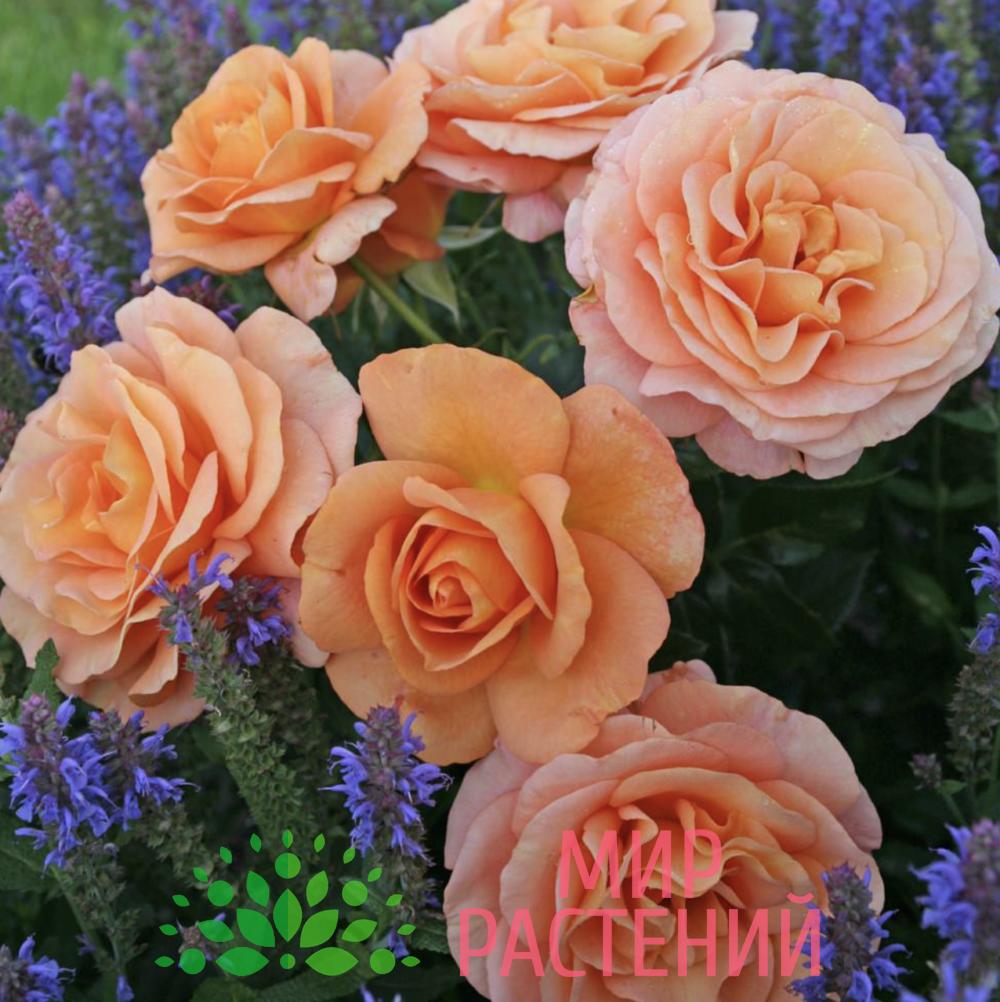 Роза флорибунда Bengali. Бенгали. Кордес.2