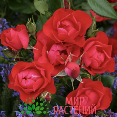 Роза флорибунда Black Forest Rose. Блэк Форест Роуз. Кордес.1