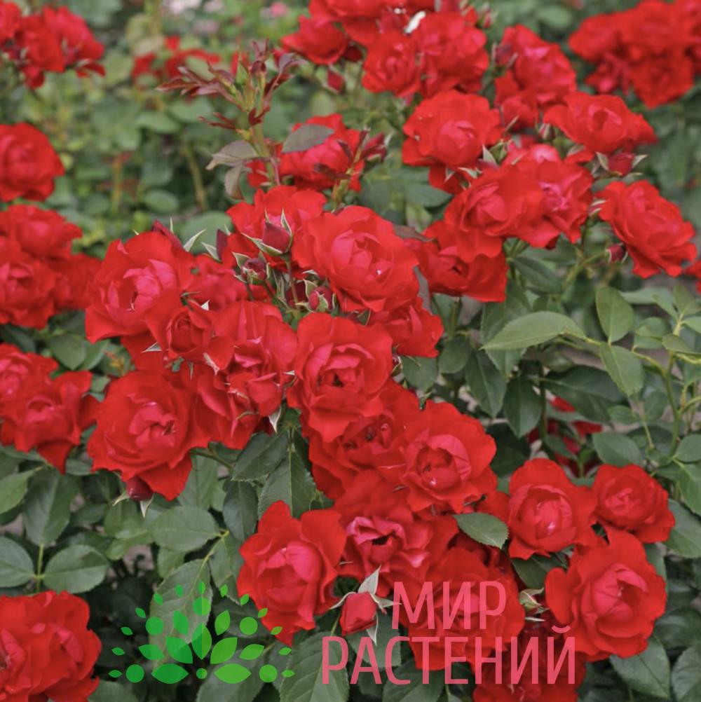 Роза флорибунда Black Forest Rose. Блэк Форест Роуз. Кордес.3