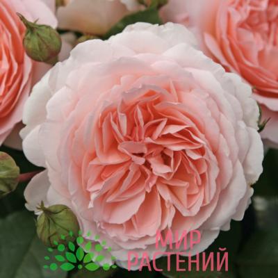 Роза флорибунда Märchenzauber. Махенцаубе. Кордес.1