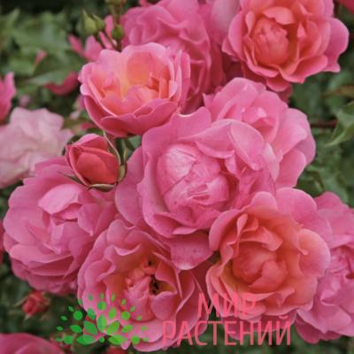 Роза флорибунда Maxi Vita. Макси Вита. Кордес.1