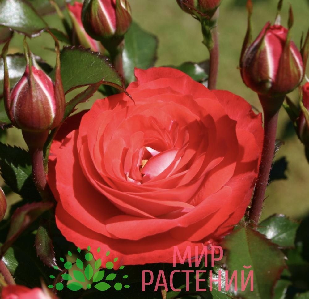 Роза флорибунда Planten un Blomen. Плантен ён Бломен. Кордес.-1