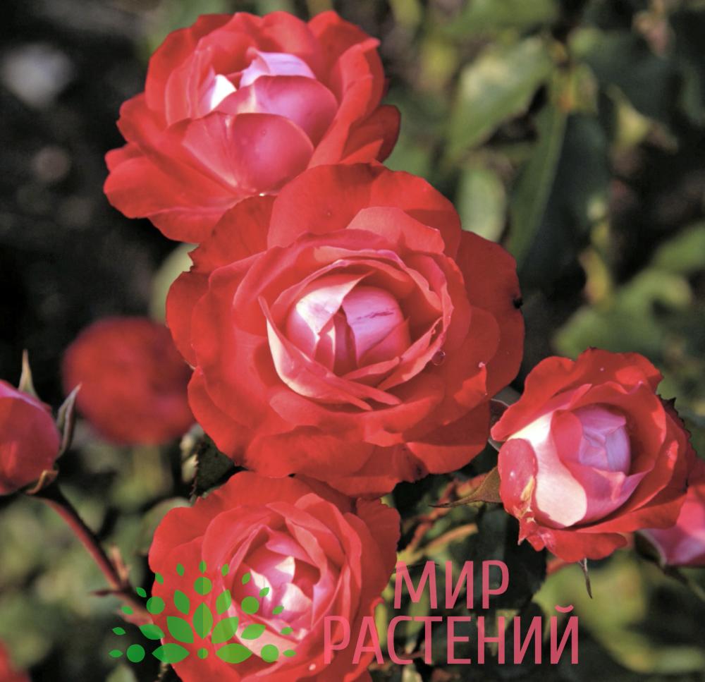 Роза флорибунда Planten un Blomen. Плантен ён Бломен. Кордес.-2