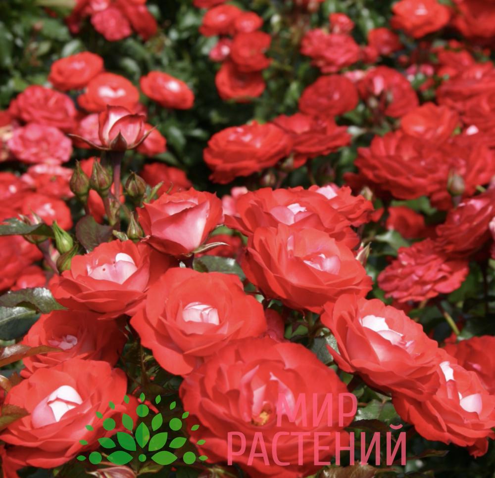 Роза флорибунда Planten un Blomen. Плантен ён Бломен. Кордес.-4