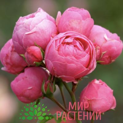 Роза флорибунда Pomponella. Помпонелла. Кордес.1