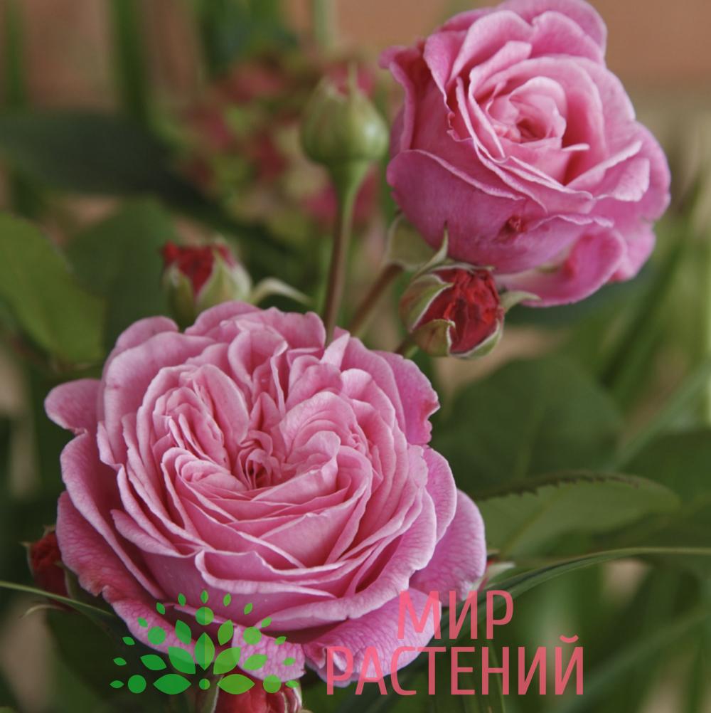 Роза флорибунда Rosengräfin Marie Henriette. Розенграфин Мари Хенриет. Кордес.1