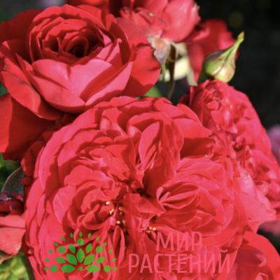 Роза флорибунда Rotkäppchen. Роткэпчен. Кордес.1
