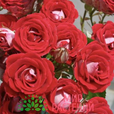 Роза флорибунда Schöne Koblenzerin. Шёне Копленцен. Кордес.1