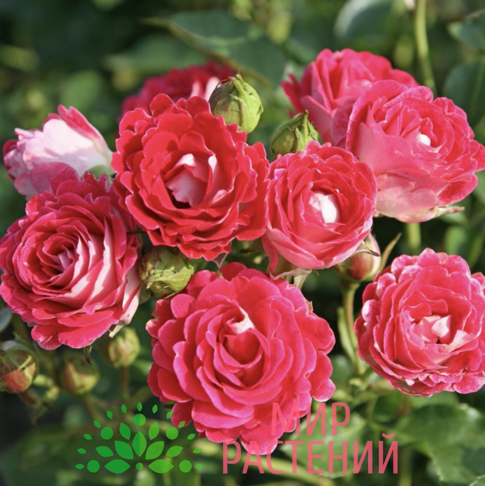 Роза флорибунда Schöne Koblenzerin. Шёне Копленцен. Кордес.2