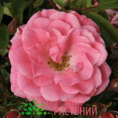 Роза почвопокровная Palmengarten Frankfurt. Палменгартен Франкфурт. Кордес.1