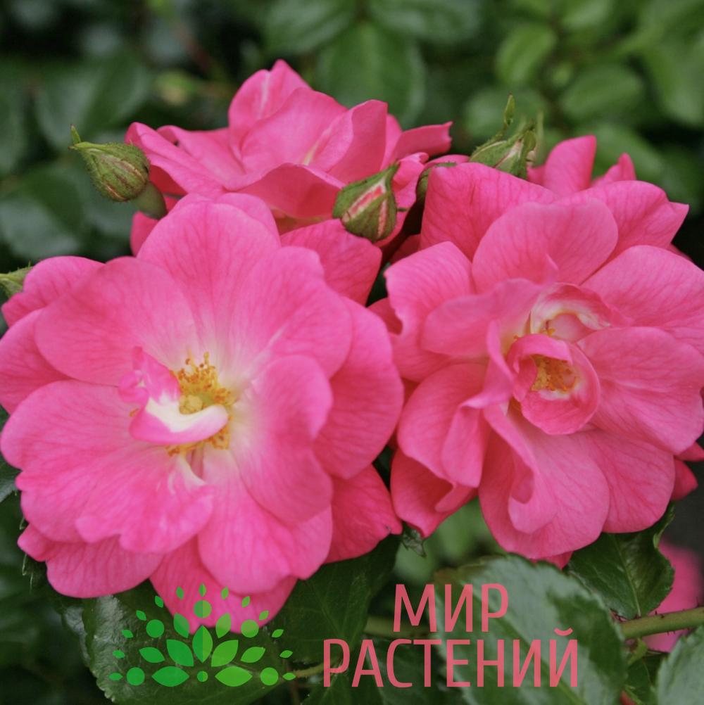 Роза почвопокровная Palmengarten Frankfurt. Палменгартен Франкфурт. Кордес.2