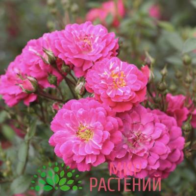 Роза почвопокровная Purple Rain. Пёпл Рейн. Кордес.1