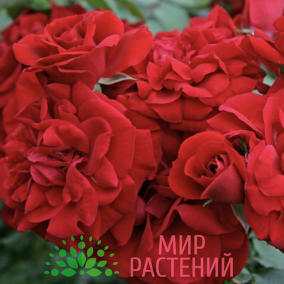 Штамбовая Роза Amadeus. Амадеус :140 см. Кордес.1