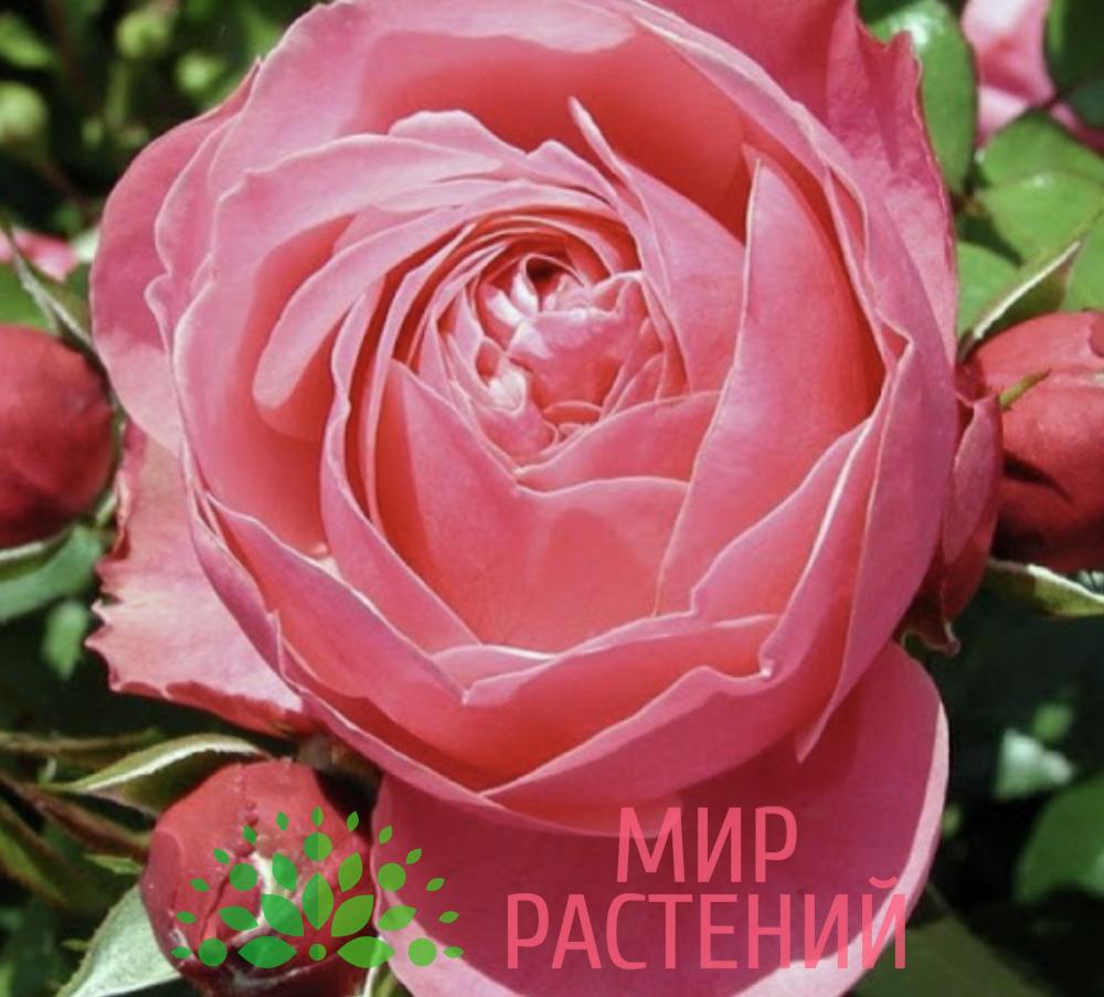 Штамбовая роза Leonardo da Vinci. Леонардо да Винчи :90 см. Кордес.1