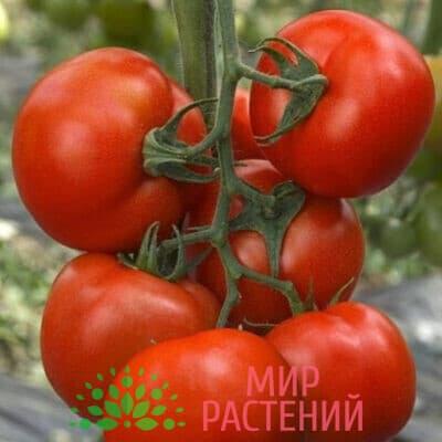 Томат Румяный шар F1 1