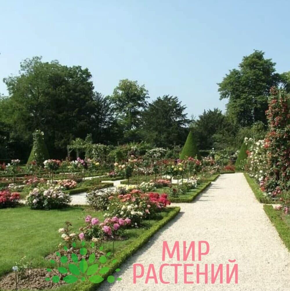 Традиционный английский розарий Мир Растений mir-rast.ru