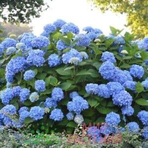 Гортензия крупнолистная Эндлес Самер Блу (Endless Summer Blue)