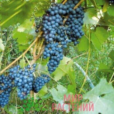 Виноград Амран (Амурский ранний)