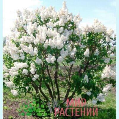 Сирень обыкновенная Красавица Москвы (Beauty of Moscow)