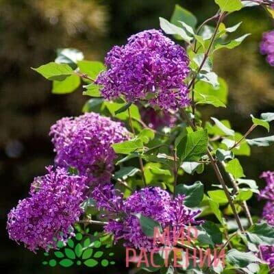 Сирень обыкновенная Дарк Пёрпл (Dark Purple)