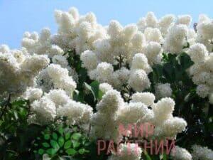 Сирень персидская штамбовая Альба (Alba)