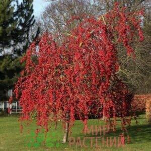 Яблоня декоративная Ред сентинел (Red Setinel)