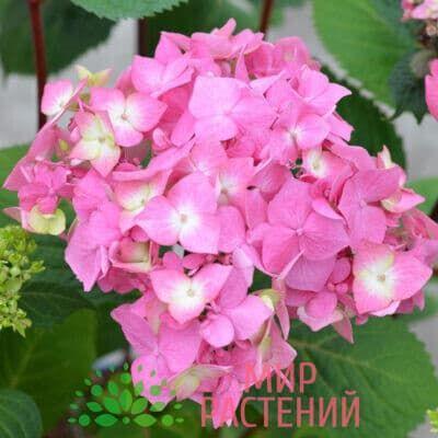 endless-summer-bloomstar-pink-2