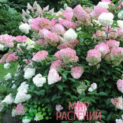 Гортензия метельчатая Пинк Леди (Pink Lady)