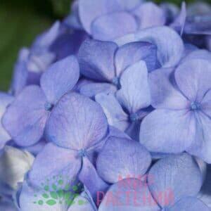 Гортензия крупнолистная Блумстар Блу (Bloomstar Blue)