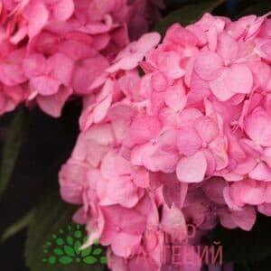 Гортензия крупнолистная Блумстар Пинк (Bloomstar Pink)