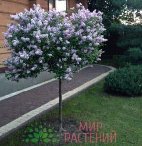 Сирень Мейера штамбовая Палибин (Palibin)