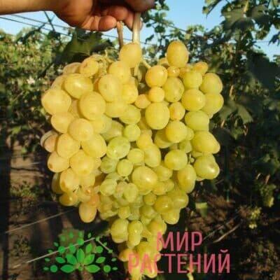 Виноград Русбол (кишмиш)