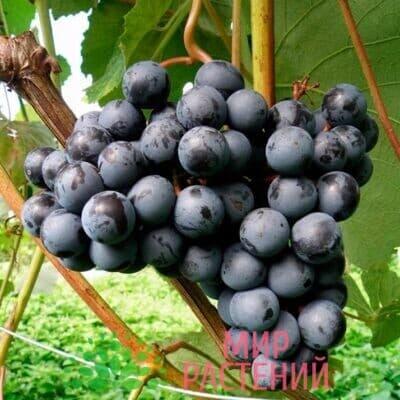 Виноград Юодупе