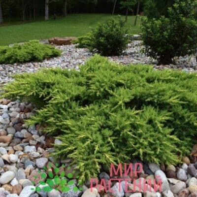 Можжевельник обыкновенный Грин Карпет (Green Carpet)1