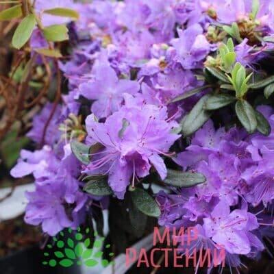 Рододендрон плотн. Гриштеде (impeditum Gristede)