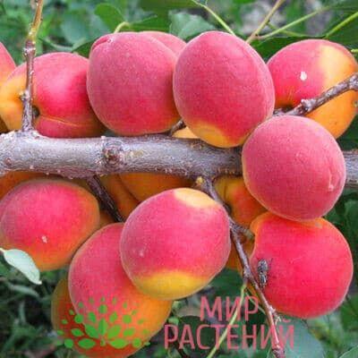 абрикос северное сияние