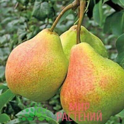 дерево сад чижовская