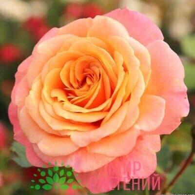 роза плетистая пич мельба