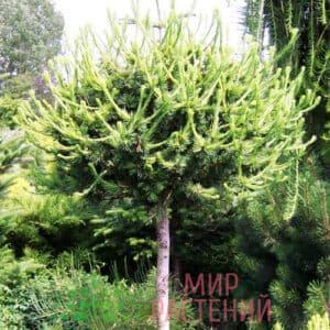 лиственница корник