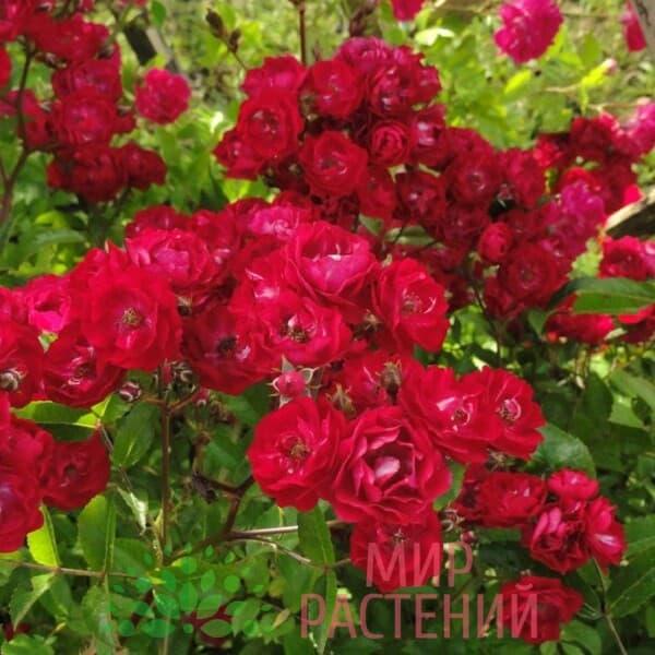 роза fairu dance