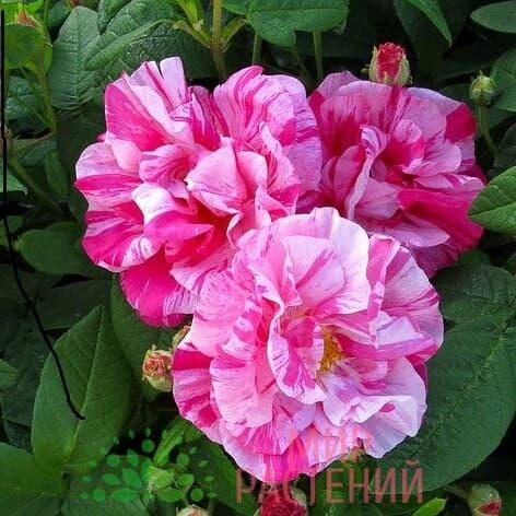 роза versicolor