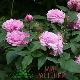 Роза чайно-гибридная Жак Картье. Jacques Cartier