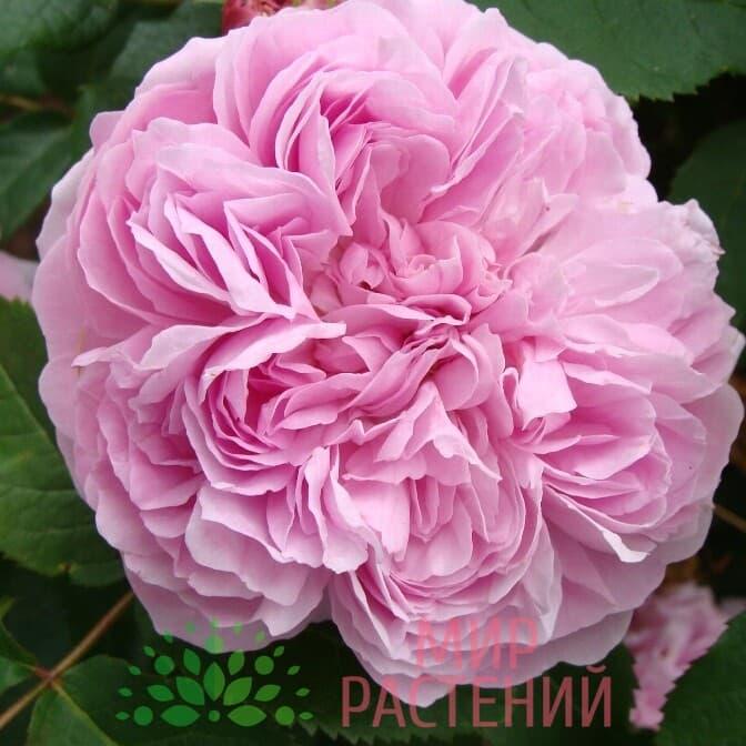 роза жак картье