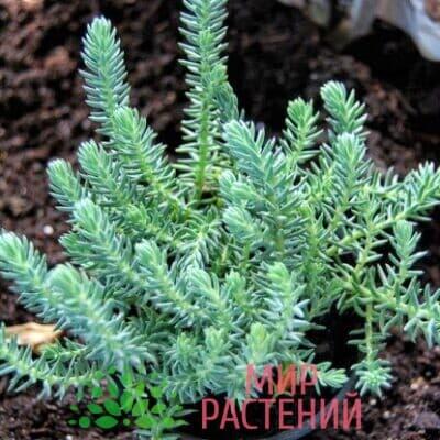 Седум Blue Spruce