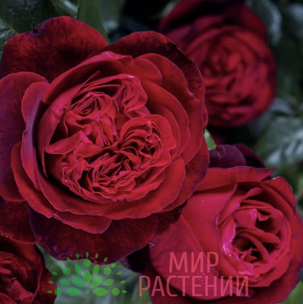 Штамбовая роза Admiral. Адмирал :90 см. Тантау.-2