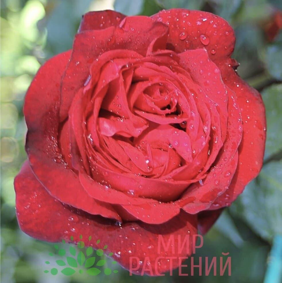 Штамбовая роза Admiral. Адмирал :90 см. Тантау.-3